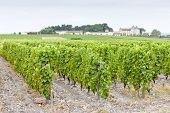 vineyard and Chateau d'Yquem, Sauternes Region, France