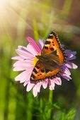 stock photo of leaf insect  - Beautiful tortoiseshell butterfly on pink marigold flower - JPG