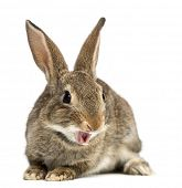 European rabbit or common rabbit smiling, 2 months old, Oryctolagus cuniculus against white backgrou poster