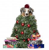 Australian Shepherd dog dressed as Christmas tree, 7 months old, in front of white background poster
