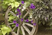picture of wagon wheel  - old wagon wheel used as a garden trellis - JPG