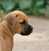 image of bull-mastiff  - Portrait of a young bull - JPG