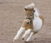 Running Miniature Horse