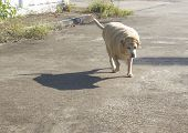 Fat Labrador Retriever 14 Years Old Walking On A Concrete Road poster