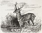Chital old illustration (Axis axis). Created by Gerusez, published on L'Illustration, Journal Univer
