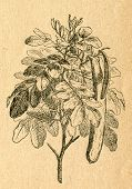 Carob tree twig with flowers and pods - old illustration by unknown artist from Botanika Szkolna na