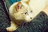 Pet, Cat Or Small Kitten, Domestic Animal With Blue Eyes, Whiskers And Fluffy, Furry Coat Sitting In poster