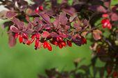 Barberry, Berberis Vulgaris, Branch With Natural Fresh Ripe Red Berries Background. Red Ripe Berries poster