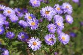 Small Purple Violet Chrysanthemums In An Autumn Garden With Bee On Them. Chrysanthemum Violet Flower poster