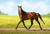 Bay Akhal-teke Horse Runs On The Green Field Background poster