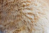 Feline Fur Texture Background, Fluffy Shorn Growing Soft Red. poster