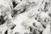 Closeup Of Christmas Evergreen Tree Covered With A Thick Layer Of Snow. Winter, Holiday Season And C poster
