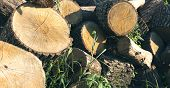 Logs For Lumber. Lumber Materials. Wood Material. Trees Yeard. Cut Trees. poster
