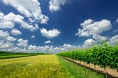 Vineyard Landscape With Beautiful Clouds And Blue Sky In Summer. Cloud, Background. Beautiful Vineya poster