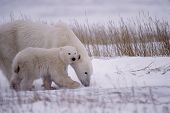 picture of polar bears  - Polar bear and her cub in snowfall - JPG