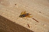 A Dangerous Insect Hornet With A Sting Sits On A Wooden Beam. Big Yellow Eyes, Yellow Mustache, Paws poster