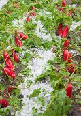 damaged radishes after hailstorm