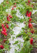 damaged radishes after hailstorm