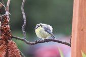 little blue finch
