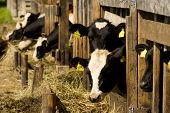 stock photo of feedlot  - Cows feeding hay in a country farm - JPG