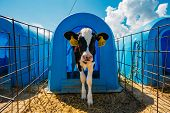 Young Calf In Blue Calf-house At Nursery. poster