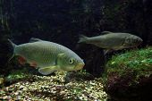 Two Freshwater Fishes