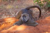 Just A Baboon Chilling In Chobe National Park, Botswana. poster