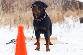 The Rottweiler Obediently Performs In Winter Training poster