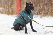 The Cane Corso Obediently Performs Winter Training poster