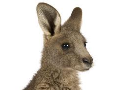 picture of baby animal  - Eastern Grey joey kangaroo on a white background - JPG