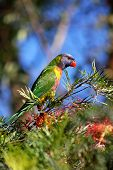 Nectar Loving Lorikeet