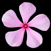 Pink Periwinkle Flower With Red Center Isolated