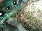 Abalone Beauty