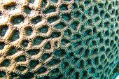 Постер, плакат: Коралловый риф с мозга Коралл крупным планом