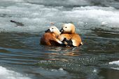 Tadorna Ferruginea, Ruddy Shelduck.