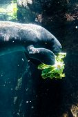 Manatee (sea Cow) Eating Salad
