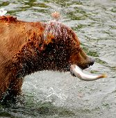 Grizzly de Alaska