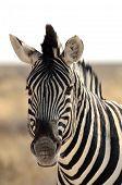 Close-up of a Burchell's zebra