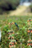 Sparkling Violetear Hummingbird Pollinating Plant