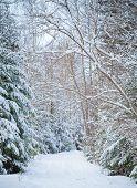 Beautiful Snowy Lane In Winter Forest