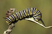 foto of caterpillar  - Monarch caterpillar feeding on a butterfly weed plant - JPG