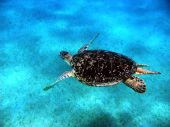 Turtle In Red Sea