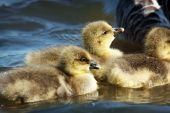 A Gaggle Of Greylag Goslings