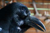 Portrait of a black Raven.