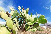 stock photo of prickly pears  - Prickly pear cactus plant in a field - JPG