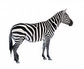 The Zebra isolated on white background.