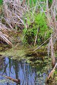 Swamp Duckweed