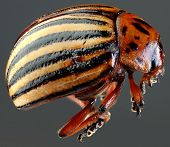 pic of potato bug  - Colorado Potato Beetle  - JPG