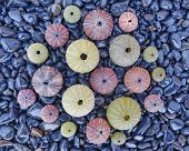 variety of colorful sea urchins on black pebbles