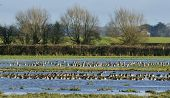 Curlew & Wigeon on floods